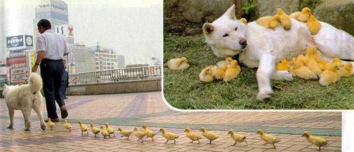 dog-and-duck-ducks-duckling-ducklings-hund-ente-enten.jpg
