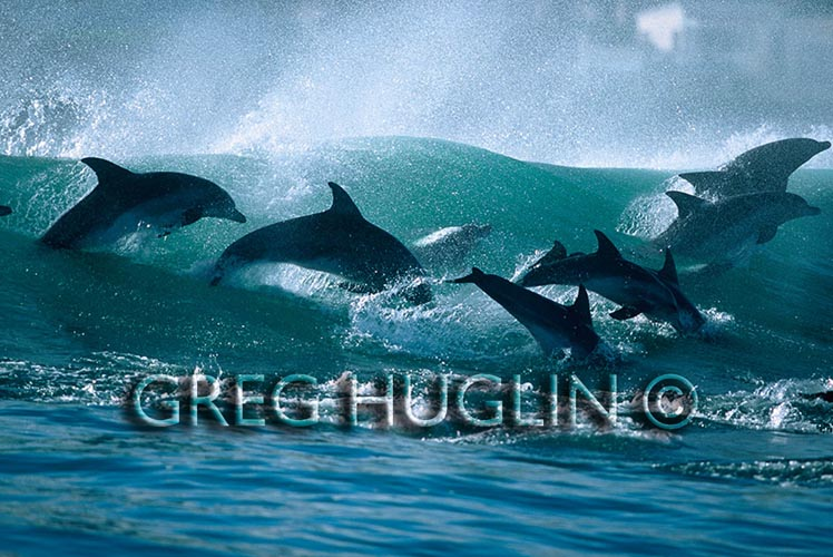 Surfing dolphins by Greg Huglin