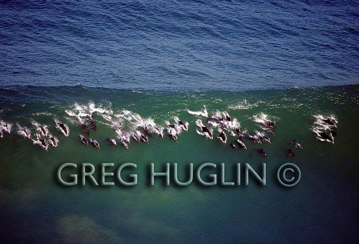 Greg Huglin's Surfing<br /><br /><br /><br /><br /><br /><br /><br /><br /><br /><br /><br /><br /><br /><br /><br /><br /><br /><br /><br /><br /><br /><br /><br /><br /><br /><br /><br /><br /><br /><br /><br /><br /><br />             Dolphins.