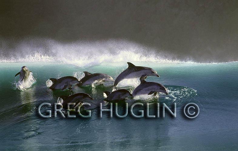 Greg Huglin's Surfing Dolphins.