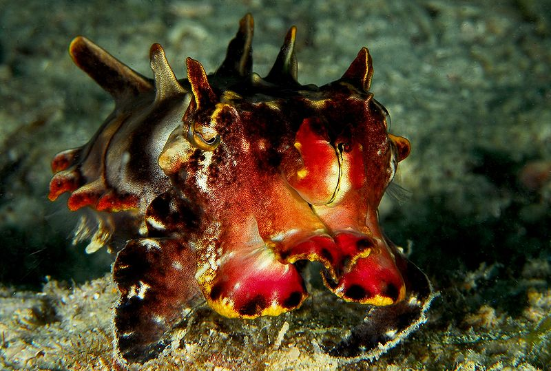 Flamboyant Cuttlefish. Species: Flamboyant Metasepia