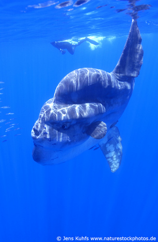 Ocean giant sunfish with diver. Mondfisch, Sonnenfisch mit Taucher (c) Jens Kuhfs