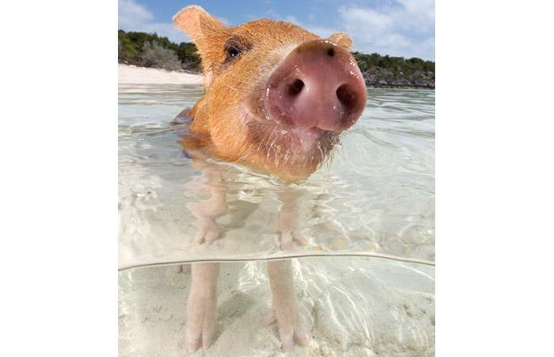 Piglet in the sea.