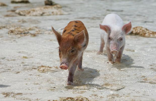Piglets at beach.