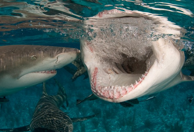 Lemon sharks with wide open mouth and teeth. (c) Willy Volk