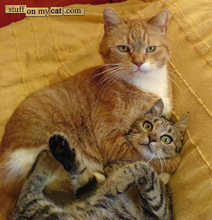 Cats, fighting with each other.