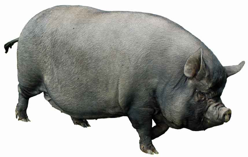 Fat pig.
