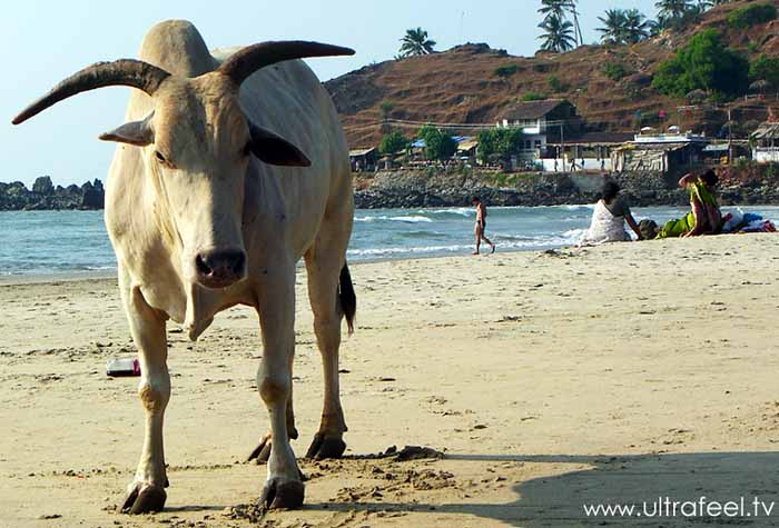 Holy cow, bull, at Arambol, Goa, India