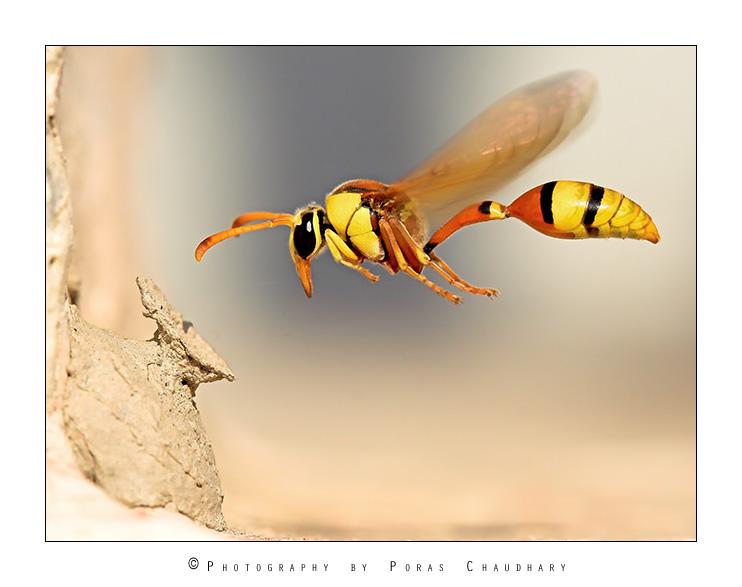 wasp-potter-macro-photo-poras-chaudhary.jpg