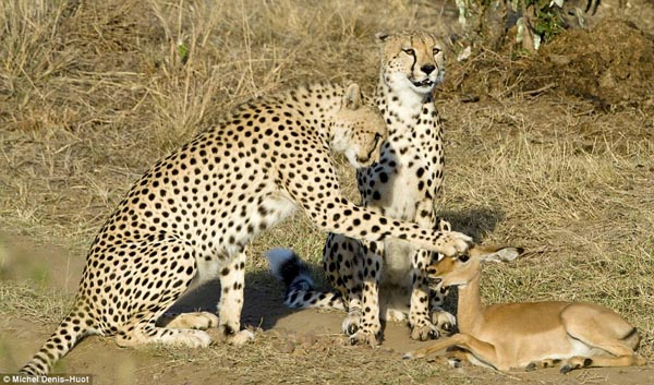 Cheetahs pat baby antelope( by Michel Denis-Huot).