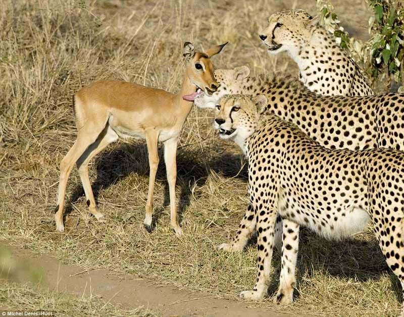 Cheetah licking baby antelope (by: Michel Denis-Huot)