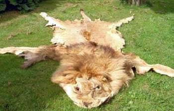 Lion fur