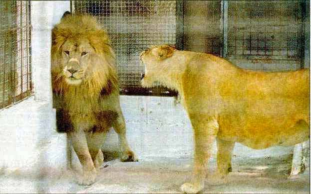 Roaring lioness and lion.
