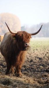 Cow in the Highlands.