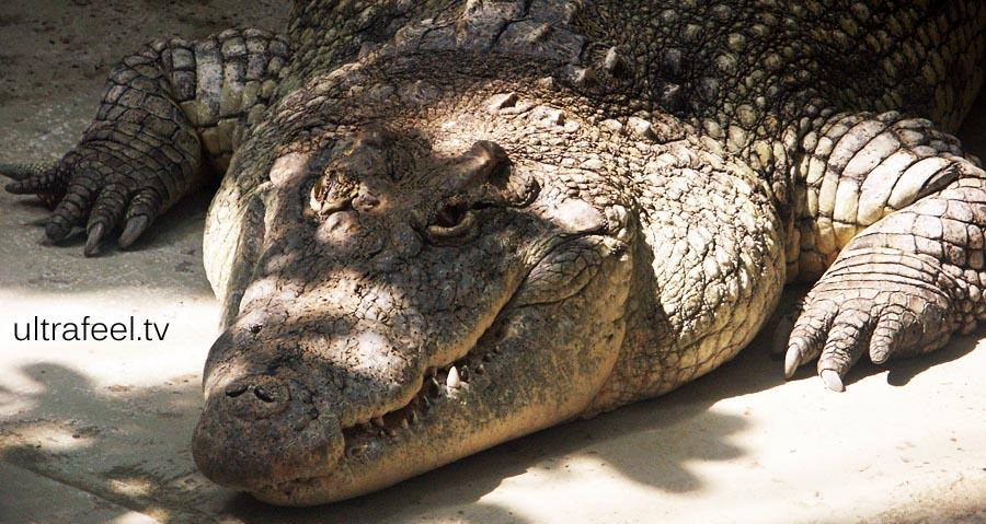 Crocodile (c)reated by h.r.fox @ ultrafeel.tv