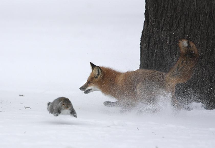 Fox hunts a squirrel (by Richard Tomalty)