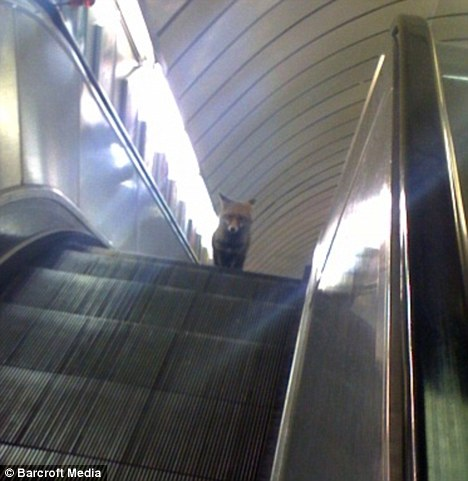 A fox on a London tube escalator.