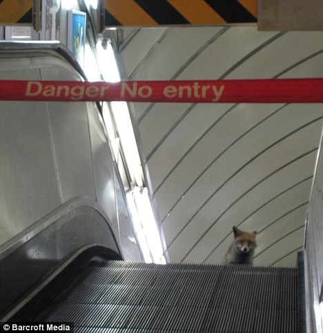 Fox in an escalator.