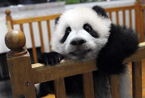 Baby panda tries to escape.