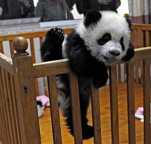Baby panda's escpae.