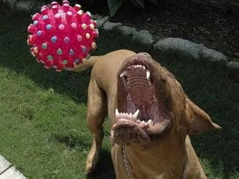 Dangerous dog catches ball.