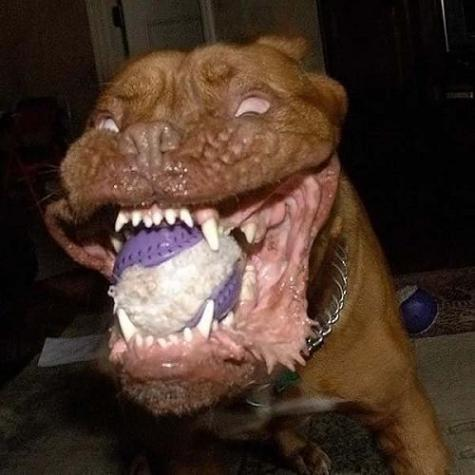 Dog showing its impressive teeth...