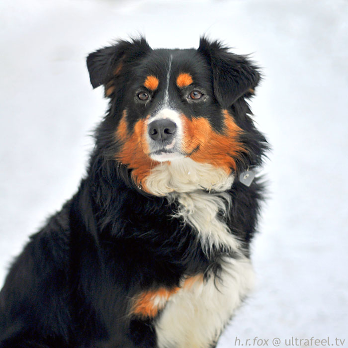 Bernese mountain dog (c) h.r.fox @ ultrafeel.tv