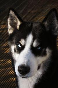 Husky with stern glance. (Sxc.hu)