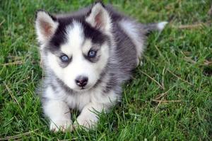Husky Puppy (Sxc.hu)