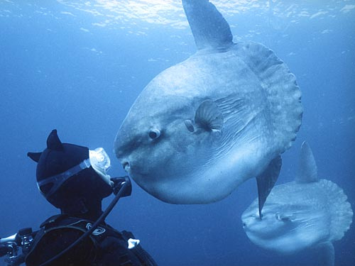 Sunfish staring in diver's eyes...