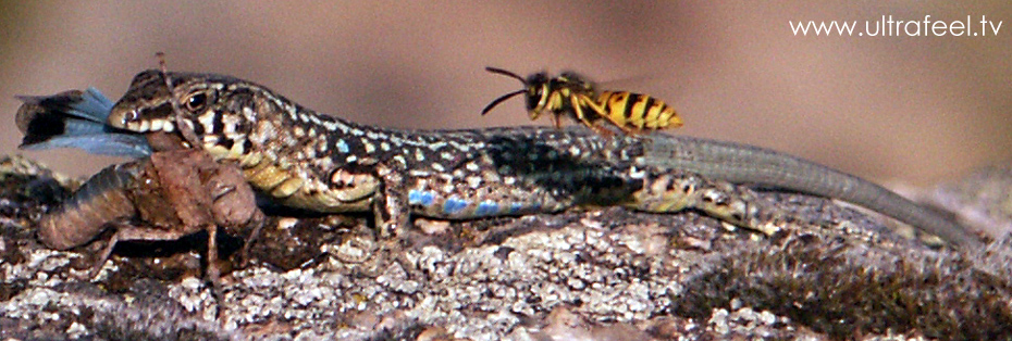Lizard eating an insect an being observed by a wasp! (cr)reated by h.r.fox in Corsica, summer 2007