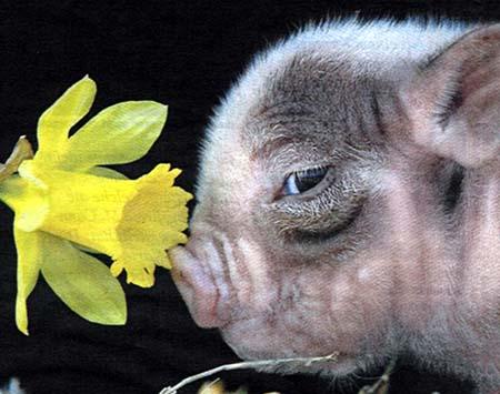 Minischwein (Minipig) schnuppert an osterglocke.