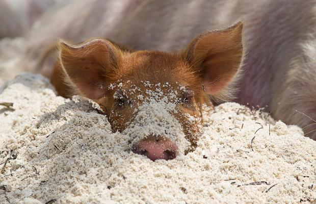 Pig in sand.