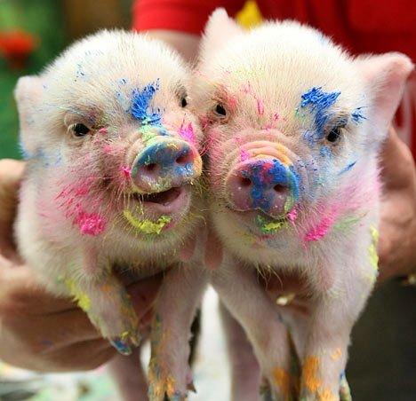 Color on piggies