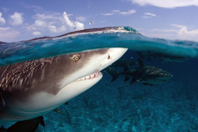 Lemon sharks (c) Willy Volk