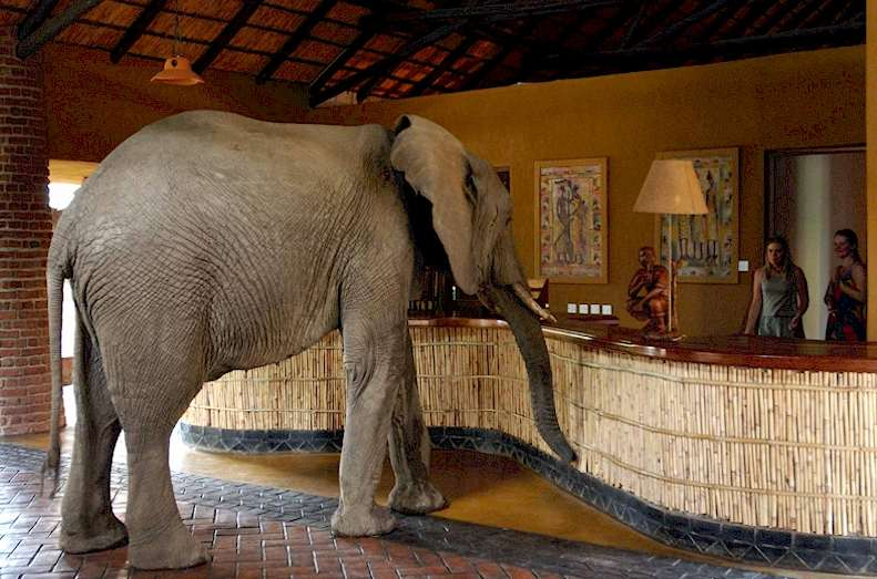 Elephant in the lobby of a hotel.