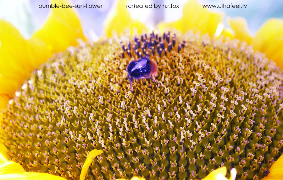 """Bumble-bee-sun-flower"" (cr)eated by h.r.fox @ www.ultrafeel.tv"