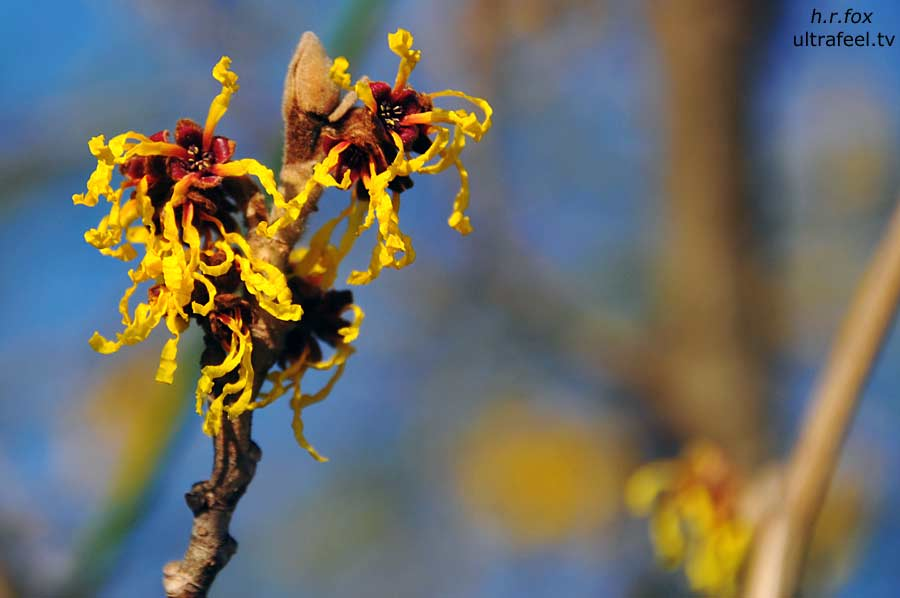 Witch-hazel (Hamamelis) photo: h.r.fox @ ultrafeel.tv