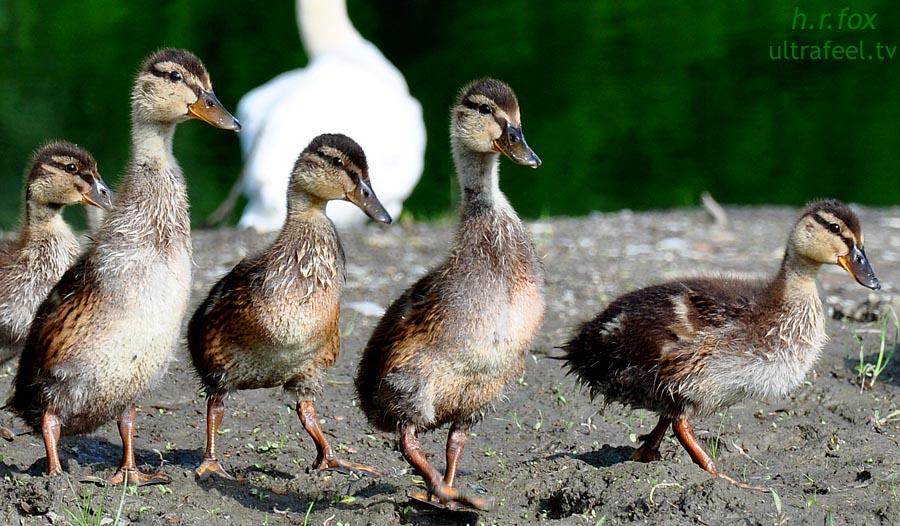 Baby Ducks (by h.r.fox @ ultrafeel.tv)