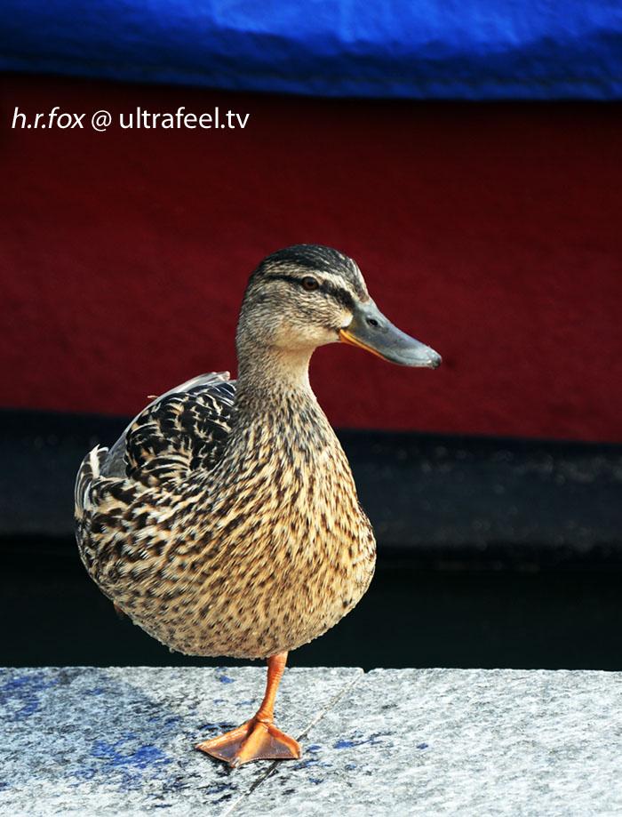 One Leg Duck by h.r.fox (ultrafeel.tv)