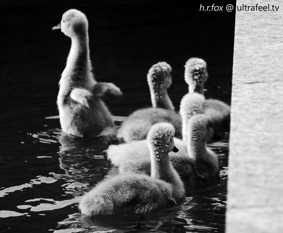 Grey Swan Babies by h.r.fox (ultrafeel.tv)