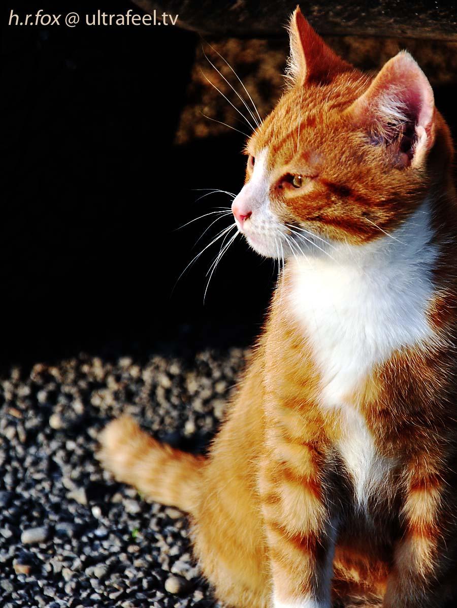 Orange cat by h.r.fox @ ultrafeel.tv