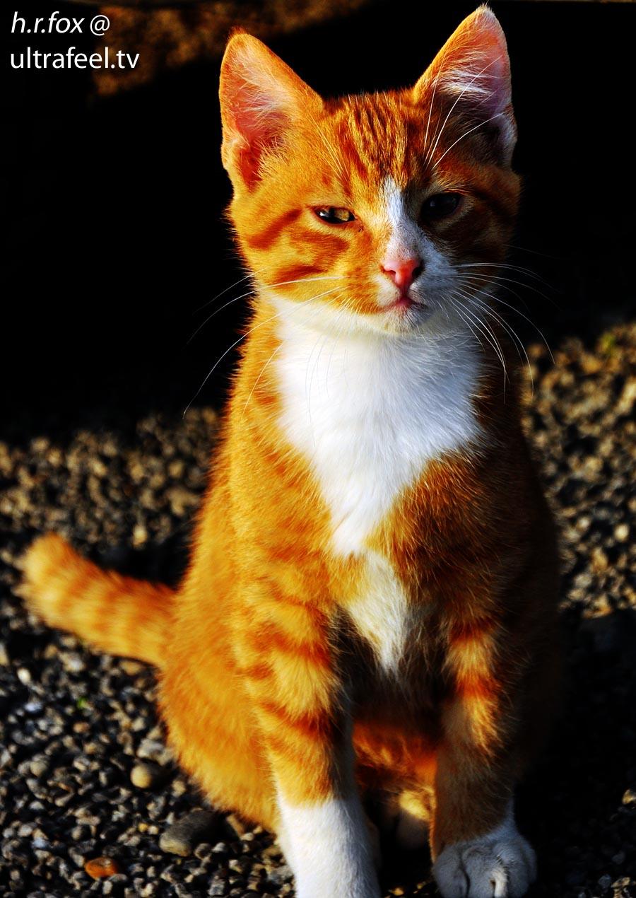 Orange elegant cat by h.r.fox @ ultrafeel.tv