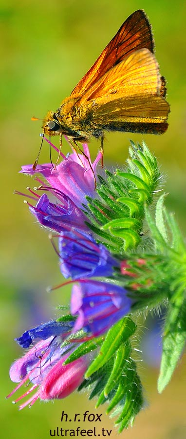 Butterfly on Pink-Violet Flower (c) h.r.fox @ ultrafeel.tv