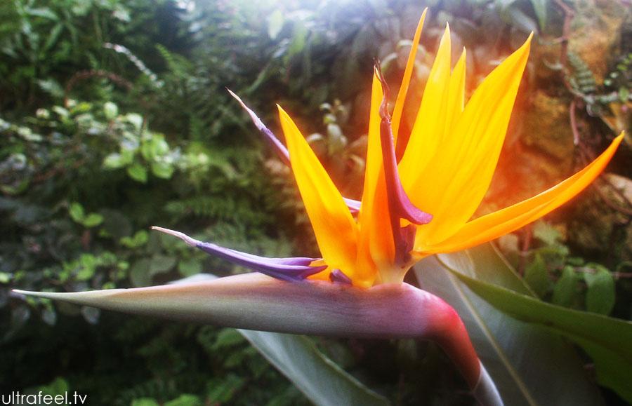 Bird of Paradise: Flower Art by h.r.fox @ ultrafeel.tv