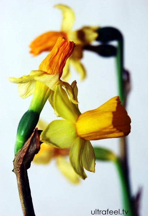Daffodil by h.r.fox @ ultrafeel.tv