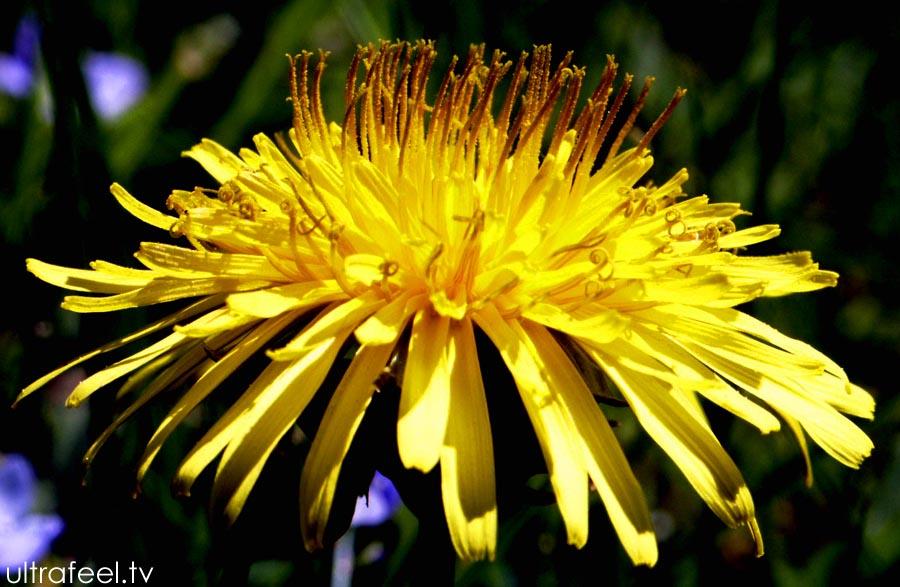 Dandelion flower. (by h.r.fox @ ultrafeel.tv)