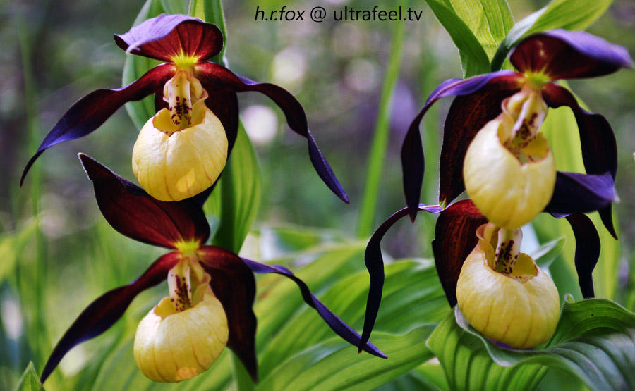 Lady slipper orchid (	Cypripedioideae)