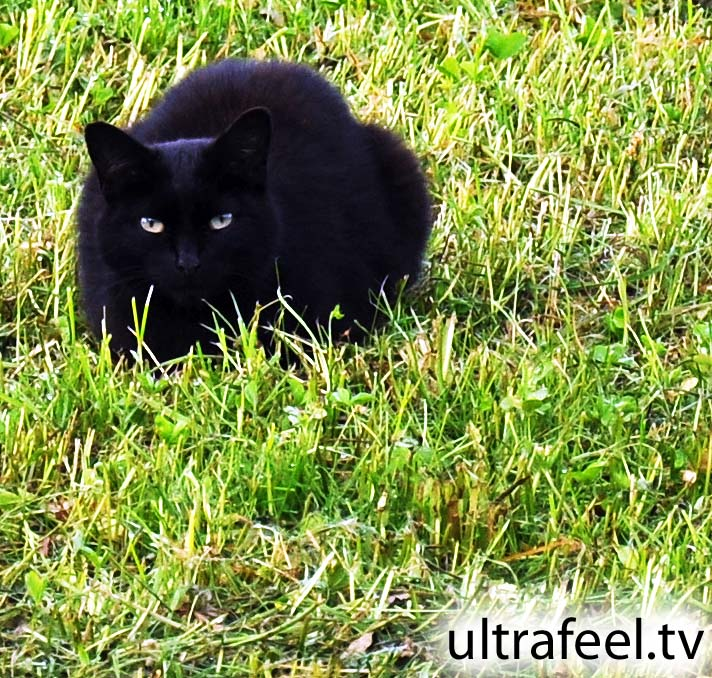 Black panther cat...