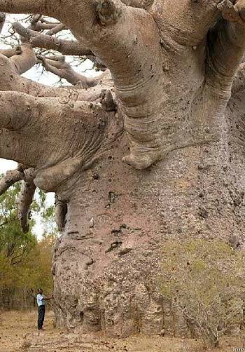 Gigantic Baobab tree in Africa (Adansonia digitata)